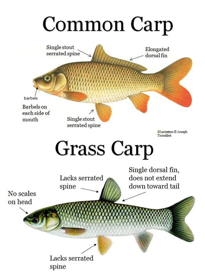 Asian carp overview foca for Can you eat carp fish