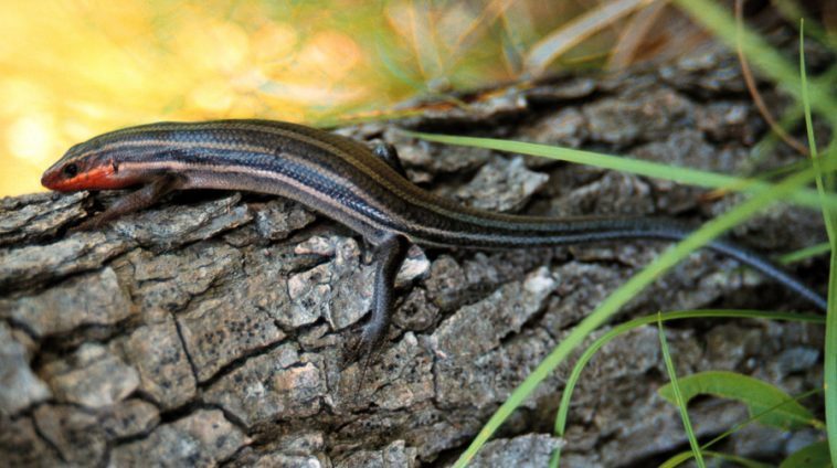 Five-lined skink courtey MNRF