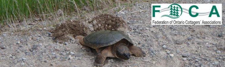 image: snapping turtle nesting in roadside gravel, by Terry Rees